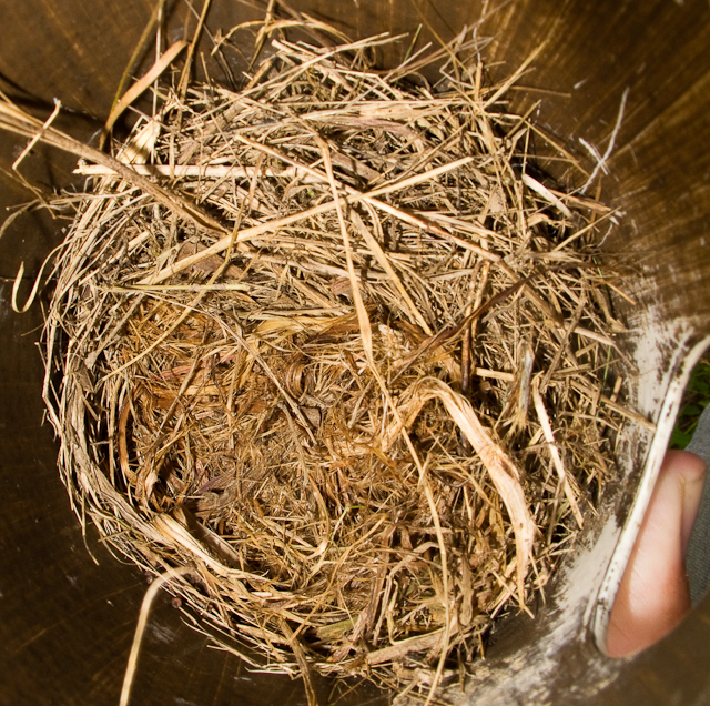 Grass cup.  Likely bluebird nest.  May 30th