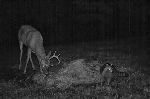 Buck and raccoon