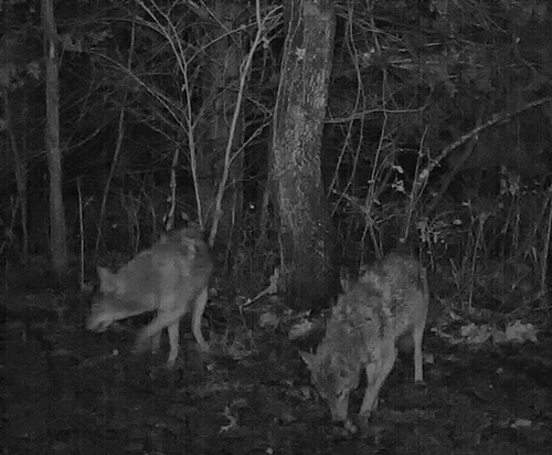 Coyotes eating persimmons