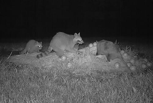 Raccoon snarling at a possum.