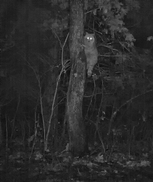 Raccoon climbing persimmon tree.