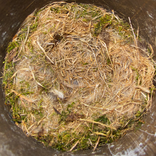 0027-040611_chickadee nest
