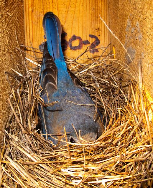 0101-041011 mom on nest