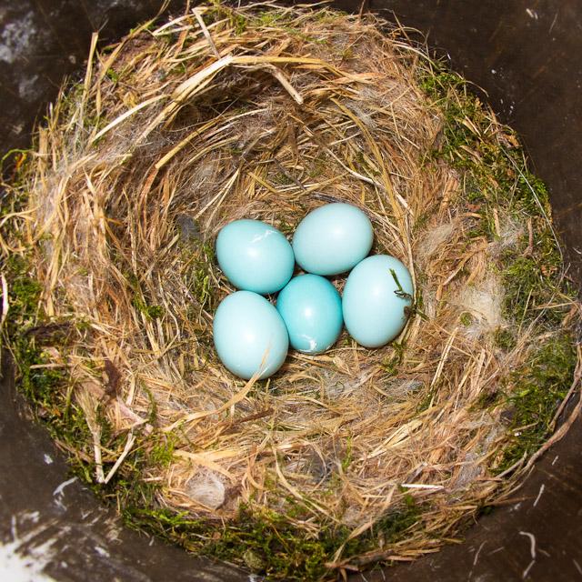 0245-041911 5 blue eggs