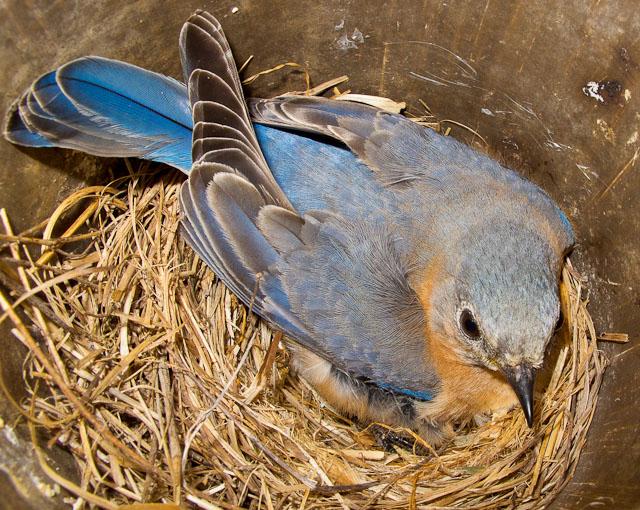 Mother bluebird up close   4-19-2011