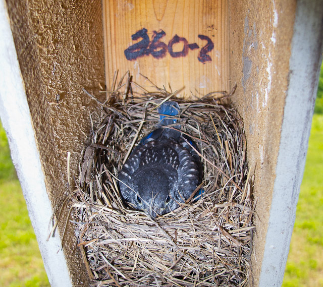 1295-051211 ready to fledge