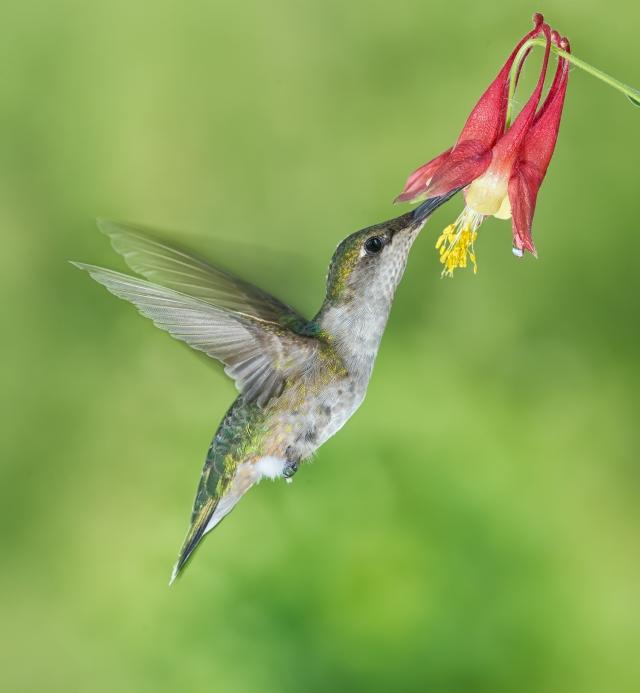 Female Ruby-Throated Hummingbird feeding on Columbine