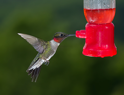 Hummingbird 5-21-2014