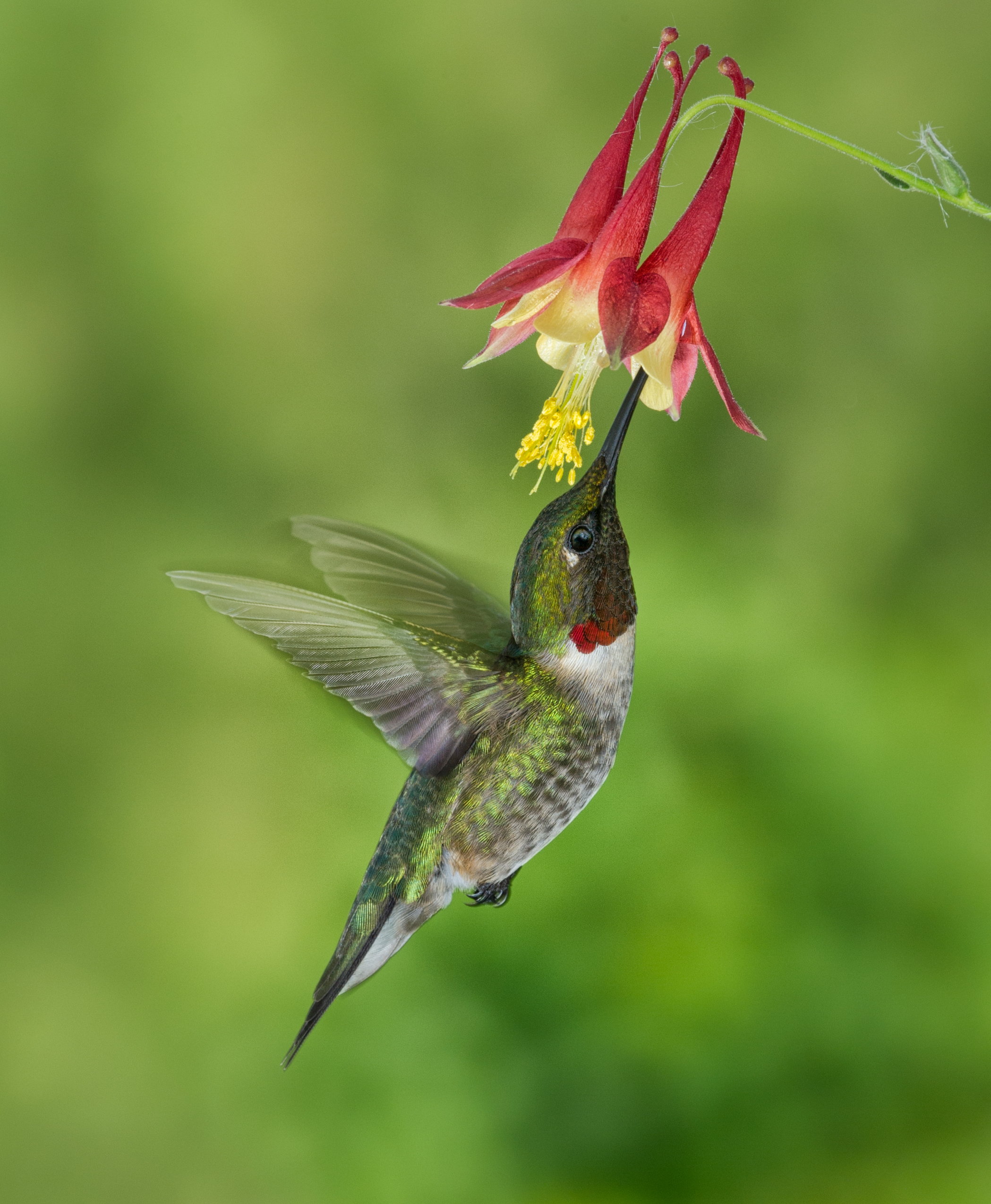 Ruby Throated Hummingbird Moški in Ženska-9277