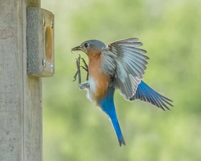 bluebird-feeding-4410-Edit