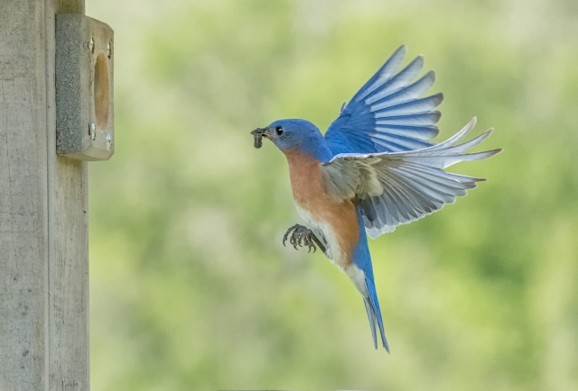 bluebird-with-catepillar-4415-Edit