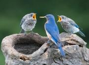 Male Bluebird feeding two Fledglings