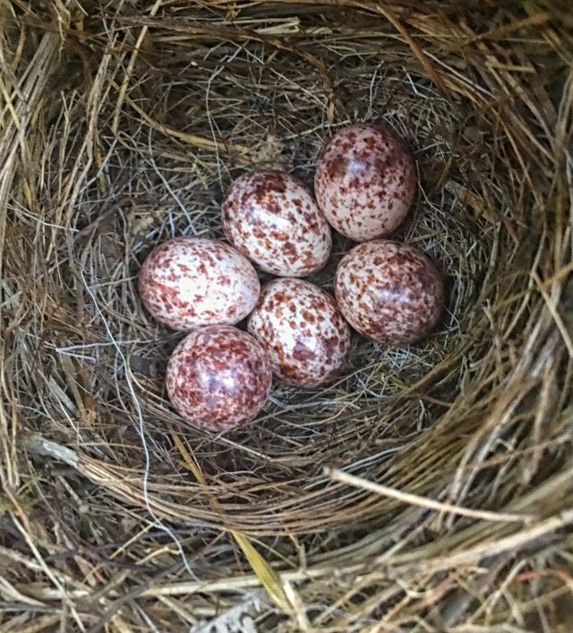 Six Prothonotary Warbler eggs.