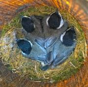 Black-capped Chickadee Brood