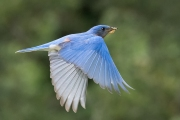 bluebird-with-centipede6762-Edit