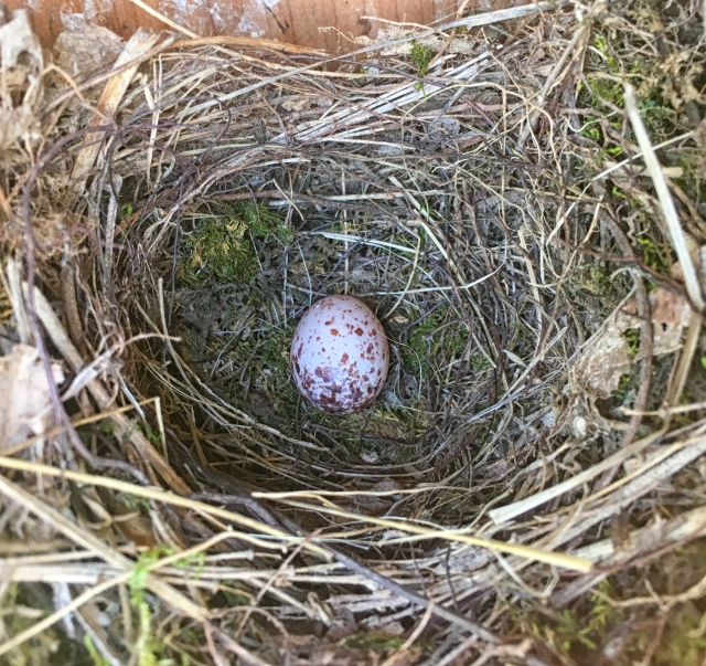 Prothonotary Warbler egg