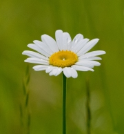 Oxeye Daisy (Luecanthemum vulgare)