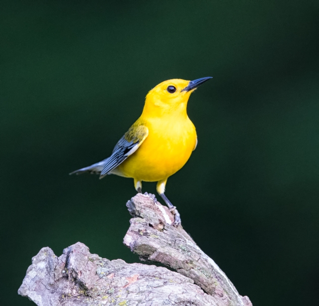 Prothonotary Warbler Male