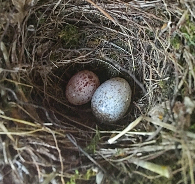 Bigger Cowbird egg added to existing Prothonotary Warbler nest.