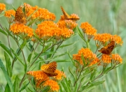 Golden Fritillary on Butterfly Weed