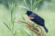 Red-Winged Blackbird (Agelaius phoenixes)