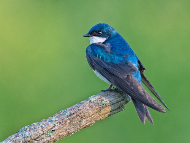 tree-swallow-1079-Edit