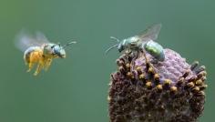 Bees on Gray-Headed Coneflower
