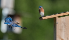 Bluebird couple working on a nest.