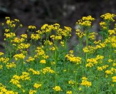Butterweed (Packera glabella)