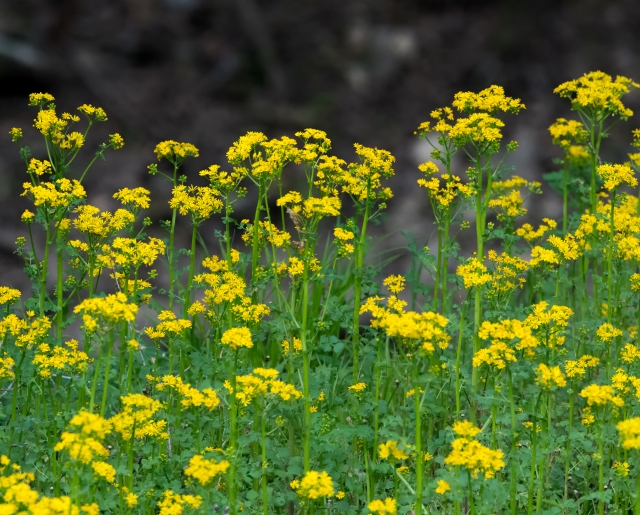 butterweed0665
