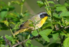 Common Yellowthroat (Geothlypis tracheas) with a caterpillar