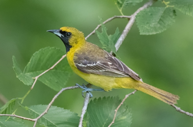immature male orchard oriole 3632