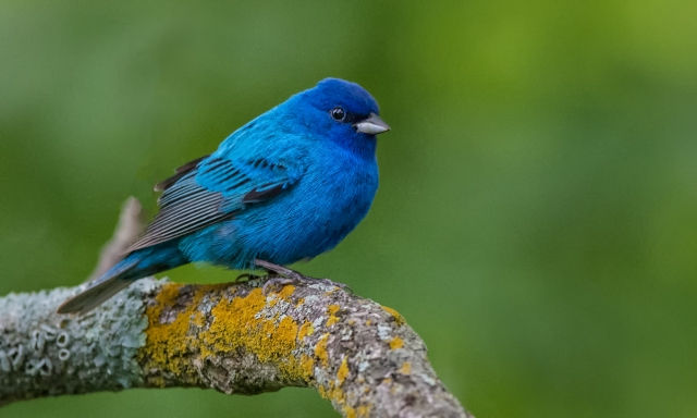 indigo bunting on branch 2830