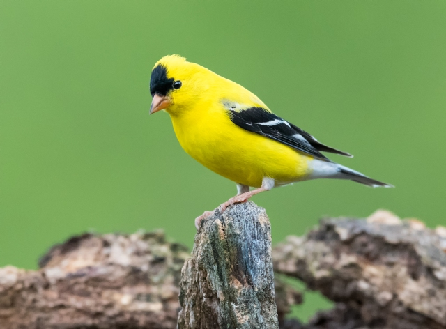 male goldfinch2910