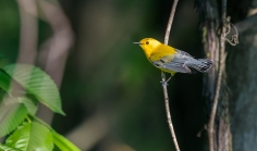 Prothonotary Warbler (Prothonotaria citrea)