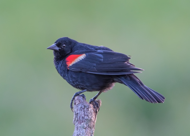 red winged blackbird 4589