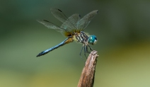 Male Blue Dasher (Pachydiplax longipennis)