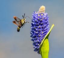 Hummingbird Moth (Hemaris thysbe) on Pickerelweed (Pontederia cordata)
