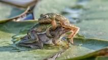 Frog Menage a Trois