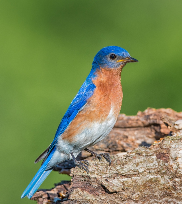 male bluebird3163t