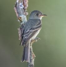 Eastern Wood Pewee (Contopus virens)