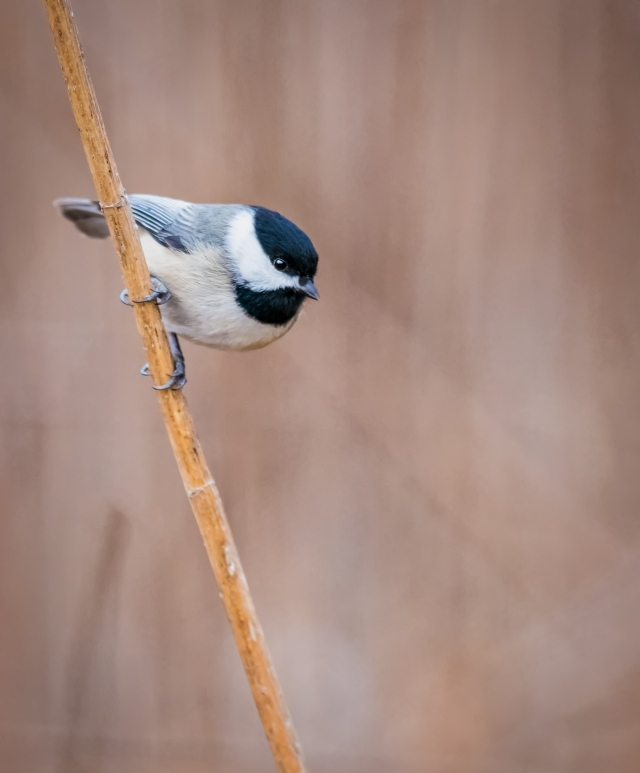 black capped chickadee_DSC1569-