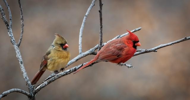 Cardinal couple_DSC1348-