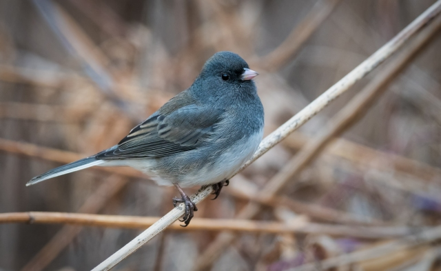 Dark eyed junco_DSC1657-