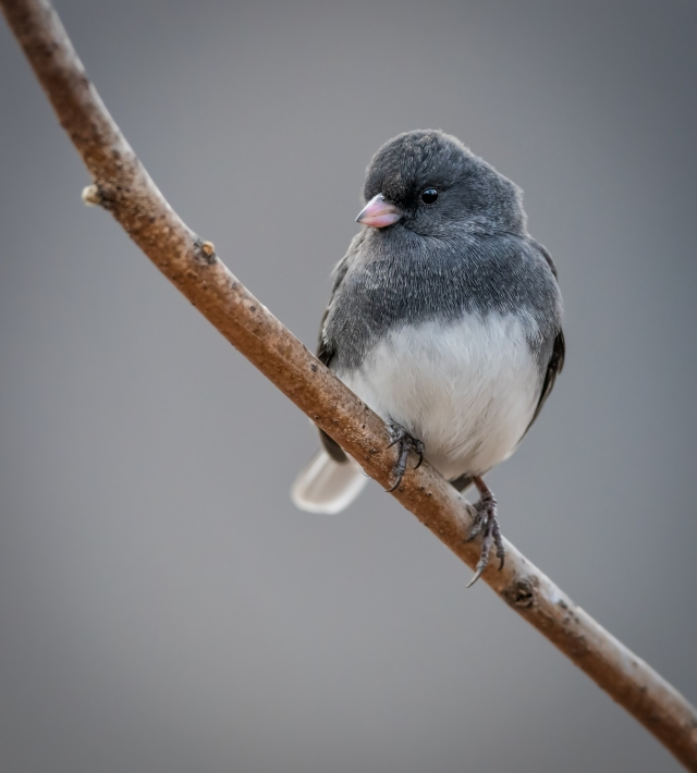 Junco_DSC2146-Edit-Edit-Edit
