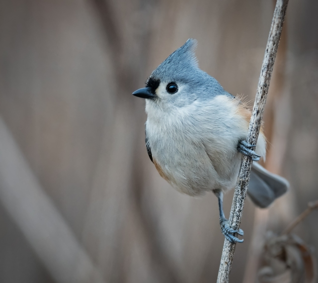 Tufted titmouse_DSC2038-