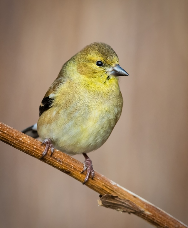American Goldfinch_DSC3530-