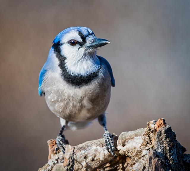 blue jay_DSC2490-