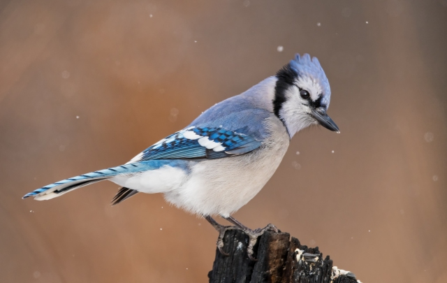 bluejay in snow_DSC3696-