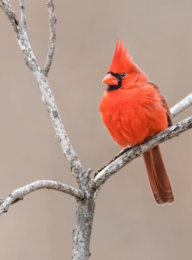 cardinal_DSC1326-